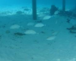 モルディブの魚